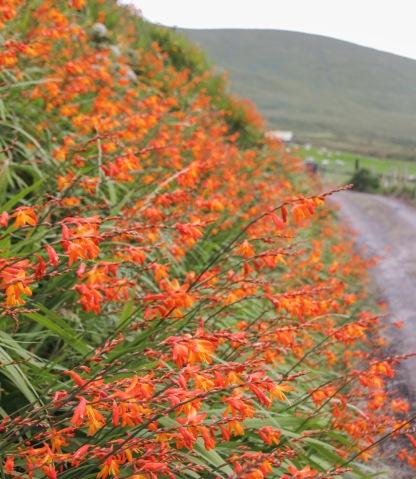 Cez leto kvitnú pri cestách oranžové Montbrécie.