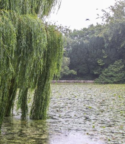 Lekná v jazere v Altamont Gardens.