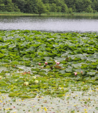 Obrovské lekná v jazeru pri Blarney Castle.